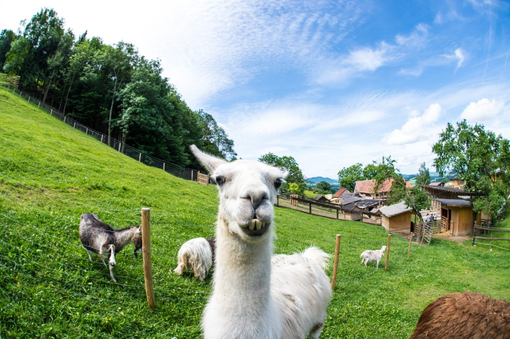Schafe auf dem Franz von Assisi-Hof