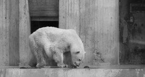 Eisbär in seinem kleinen Gehege