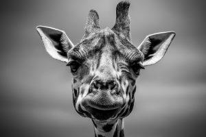 Leidende Giraffe in einem Zoo.