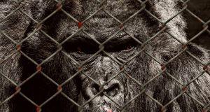 Gefangener Gorilla im Zoo