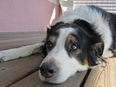 Österreichischer Tierschutzverein rettet Hündin Sheila