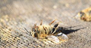 Neonicotinoide verursachen Bienensterben