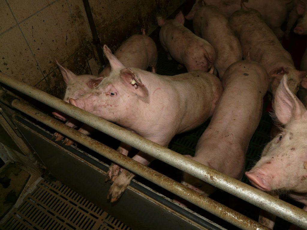 Ferkel und Schweine aus Massentierhaltung