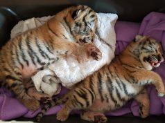 Tigerbabys gefunden