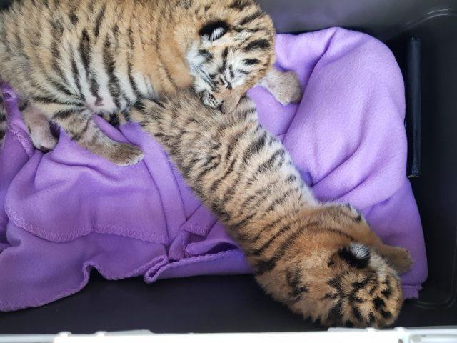 Verstorbene Tigerbabys