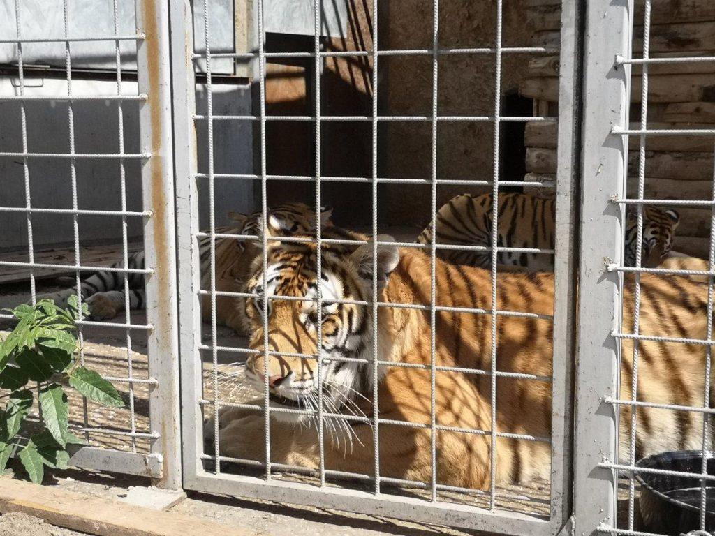 Verstorbene Tigerbabys waren ebenfalls als Publikumsmagneten vorgesehen
