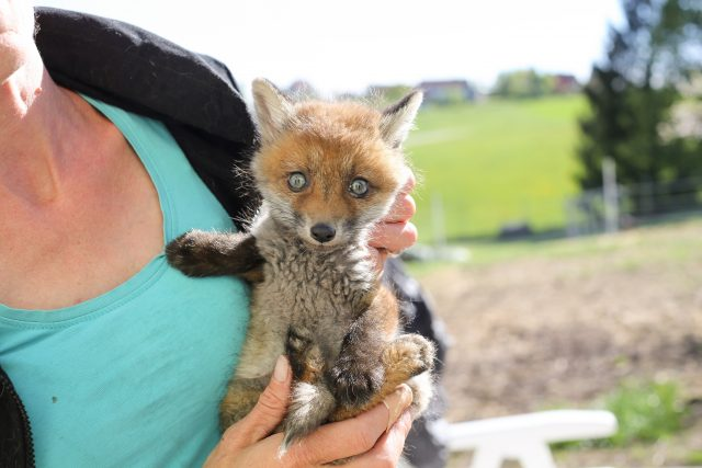 Tierbabys gerettet: Fuchs
