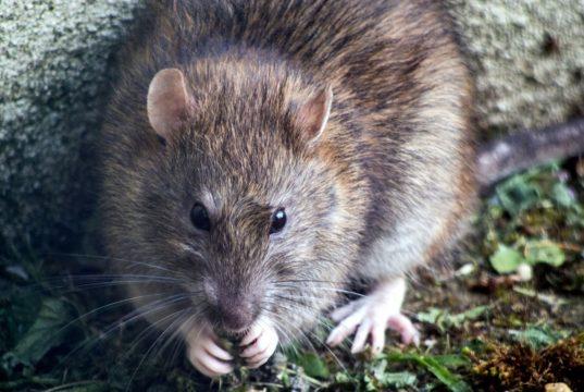 Rattengift Alpha-Chloralose